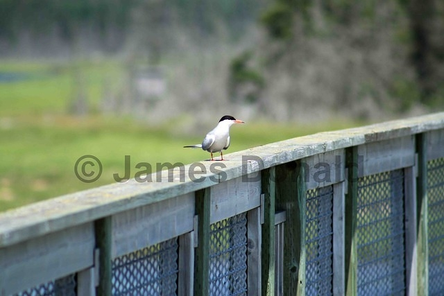 Tern on the Boardwalk
