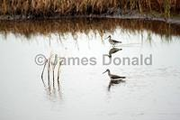 Wading Sandpipers