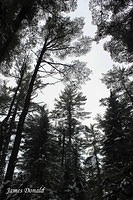 Pines and Sky