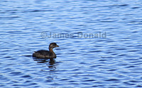 Young Pied-billed Grebe