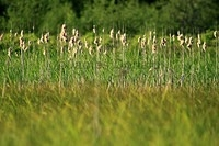 Cat-tails in the Marsh